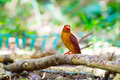 Ruddy kingfisher halcyon coromanda bangsi Stockbild