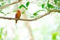 Ruddy kingfisher halcyon coromanda bangsi Lizenzfreies Stockfoto