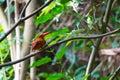 Ruddy kingfisher halcyon coromanda bangsi Lizenzfreies Stockbild