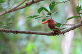 Ruddy kingfisher halcyon coromanda major in japan Stock Image