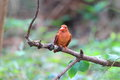 Ruddy kingfisher halcyon coromanda major in japan Royalty Free Stock Images