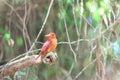 Ruddy kingfisher halcyon coromanda major in japan Royalty Free Stock Photography