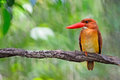 Ruddy kingfisher maschio Immagine Stock