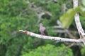 Ruddy pigeon patagioenas subvinacea in ecuador Stock Photo