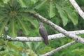 Ruddy pigeon patagioenas subvinacea in ecuador Royalty Free Stock Photos
