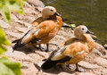 Ruddy shelduck animals at the moscow zoo Royalty Free Stock Photo