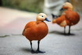 Ruddy shelduck brahminy duck is a member of the goose and swan family anatidae it is in the subfamily tadorninae Royalty Free Stock Photography