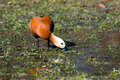 Ruddy Shelduck, Brahminy Duck, Tadorna ferruginea Royalty Free Stock Photos