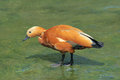 Ruddy shelduck the close up of scientific name tadorna ferruginea Stock Image