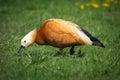 Ruddy shelduck female in its natural habitat Stock Images