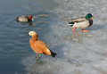 Ruddy shelduck focus on ruddy shelduck and other duck Stock Photos