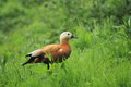 Ruddy shelduck in the grass Stock Photo