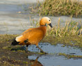 Ruddy shelduck on a grass see my other works in portfolio Stock Images