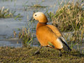 Ruddy shelduck on a grass see my other works in portfolio Royalty Free Stock Photography