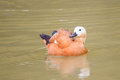 Ruddy shelduck swimming on lake a is Royalty Free Stock Image