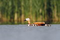 Ruddy shelduck tadorna ferrugienea family in the natural enviroment Stock Photography