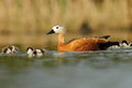 Ruddy shelduck tadorna ferrugienea family in the natural enviroment Royalty Free Stock Photo