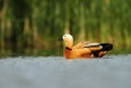 Ruddy shelduck tadorna ferrugienea in the natural enviroment Royalty Free Stock Photo