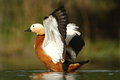 Ruddy shelduck tadorna ferrugienea in the natural enviroment Stock Images