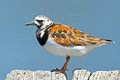 Ruddy Turnstone Royalty Free Stock Photos