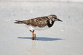Ruddy turnstone arenaria interpres on fort myers beach florida Royalty Free Stock Photo