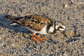 Funny image of bird. Ruddy Turnstone, Arenaria interpres, in the water, with open bill, Florida, USA. Wildlife scene from nature.