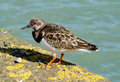 Ruddy Turnstone in Cornwall UK. Royalty Free Stock Photos