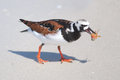 Ruddy Turnstone Eating Royalty Free Stock Photo