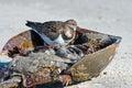 Ruddy turnstone inside a horseshoe crab Royalty Free Stock Photos