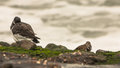 Ruddy Turnstone and Oystercatcher Royalty Free Stock Images