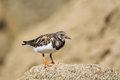 Red Knot and Ruddy Turnstone