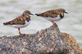 Ruddy turnstone sandpipers on a large rock at the beach Royalty Free Stock Photography