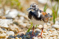 Ruddy turnstone standing along the shoreline Royalty Free Stock Photos