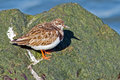 Ruddy turnstone standing on the jetty Stock Images