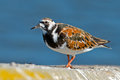 Ruddy turnstone standing on the shoreline Stock Images