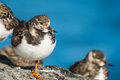 Ruddy turnstone a in winter plumage Stock Images