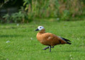 Rudy shelduck the ruddy is a member of the duck goose and swan family anatidae it is in the subfamily tadorninae Stock Images