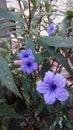 Ruellia tuberosa L