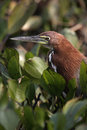 Rufescent tiger heron tigrisoma lineatum single bird head shot brazil Stock Images