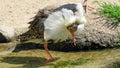 Ruff bird calidris pugnax close up of in breading time Stock Photos