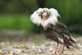 Ruff in breeding plumage Royalty Free Stock Photo