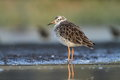 Ruff philomachus pugnax the in the natural enviroment Royalty Free Stock Images