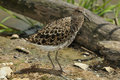 Ruff philomachus pugnax wader bird by log Stock Photos