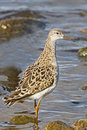 A Ruff (Philomachus pugnax) in winter plumage Stock Photography