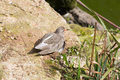 Ruff wader bird a spotted relaxing at on the side of a rock in the sunshine Stock Photo
