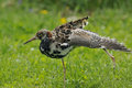 Ruff wing stretching philomachus pugnax male in moult Stock Image