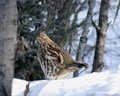Ruffed Grouse in winter snow Stock Image