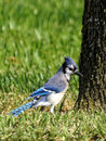 Ruffled blue jay with crest on lawn by a tree Royalty Free Stock Photo