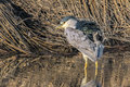 Ruffled feathers a black capped night heron hunting in the wetlands for dinner Stock Images