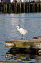 Ruffled feathers a lone egret shaking out his on the dock at gloucester harbor Stock Photo